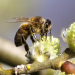 How Bees Are Being Killed Off by Neonics?